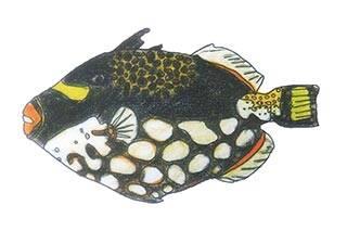 モンガラカワハギ