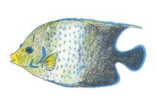 サザナミヤッコ成魚